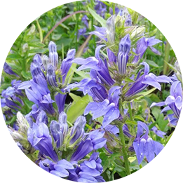 Close up great blue lobelia
