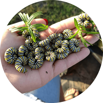 a handful of caterpillars from sustainable natives
